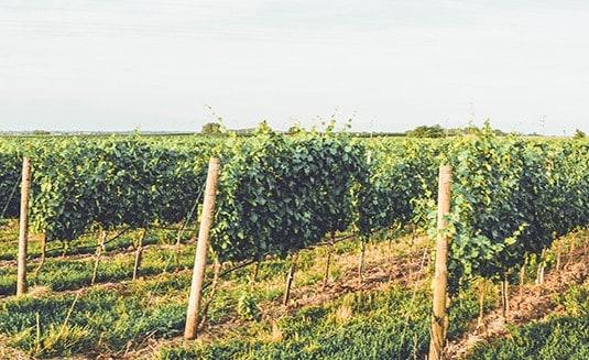 Weingarten - Riede - Weingut Pinetz